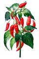 Aji Brazilian Bonanza pepper, paths - PhotoDune Item for Sale