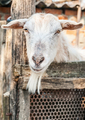 Portrait of a funny goat looking to camera - PhotoDune Item for Sale