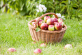 Ripe apples in basket on grass - PhotoDune Item for Sale