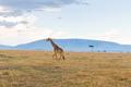 giraffe in savannah at africa
