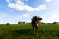 Cows graze on a meadow in the sunny day - PhotoDune Item for Sale