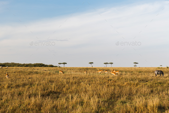 impala or antelopes grazing in savannah at africa - Stock Photo - Images