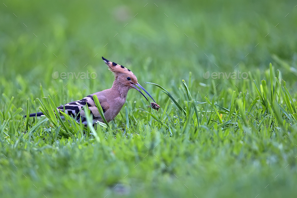 Hoopoe in the wild  - Stock Photo - Images