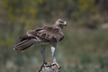 Bonellis eagle (Aquila fasciata) - PhotoDune Item for Sale