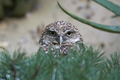Burrowing owl (Athene cunicularia) - PhotoDune Item for Sale