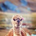 Alpaca - PhotoDune Item for Sale