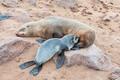 Cape Fur Seal pup, Arctocephalus pusillus, suckling