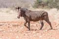 Muddy Hartmann Mountain Zebra