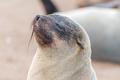 Close-up of a Cape Fur Seal at Cape Cross