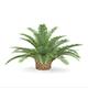 Queen Sago Plant
