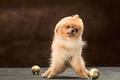 Spitz-dog in studio on a neutral background