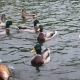 Wild Ducks Swimming Around In a Pond - VideoHive Item for Sale