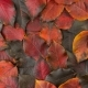 Fallen Autumn Red-black Leaves - VideoHive Item for Sale