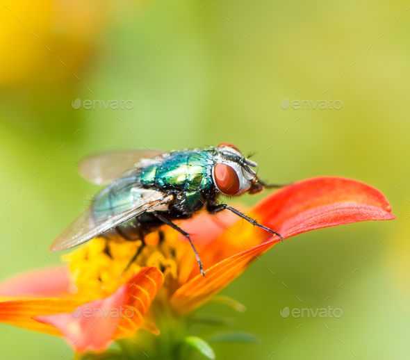 Macro of a fly on a red flower blossom - Stock Photo - Images