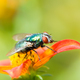 Macro of a fly on a red flower blossom - PhotoDune Item for Sale