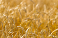 Wheat field on a summer sunny day - PhotoDune Item for Sale