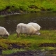 Sheep in Iceland Posing Near the River