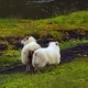 Sheep in Iceland Breeding Near the River