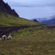 Icelandic Sheep with Mountains in Background