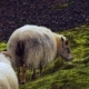 a Couple of Icelandic Sheep Breeding on Field