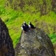 Puffin on the Sharp Rocks on a Sunny Day - VideoHive Item for Sale
