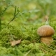 Small Boletus Grow in Woods. Nature Food Plants - VideoHive Item for Sale