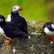 Tiny Puffins on the Rocks on a Sunny Day - VideoHive Item for Sale