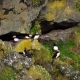 Puffins on the Cliffs on a Sunny Day - VideoHive Item for Sale
