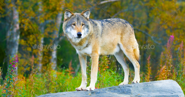 Large male grey wolf standing on a rock in the forest - Stock Photo - Images
