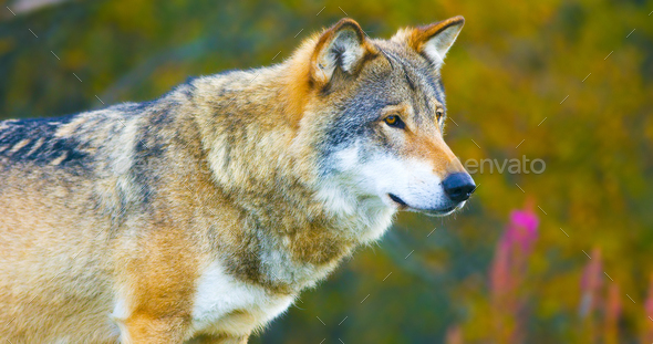 Large male grey wolf in the autumn colored forest - Stock Photo - Images