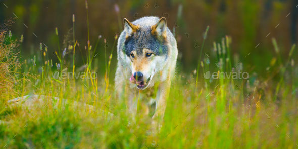 Wild male wolf walking in the grass in the autumn colored forest - Stock Photo - Images
