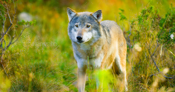 Large male grey wolf in autumn colored field in the forest - Stock Photo - Images