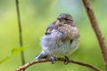 Juvenile Chaffinch perched on branch - PhotoDune Item for Sale