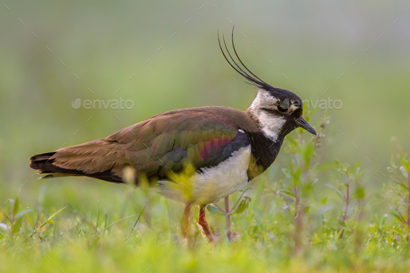 Male Northern lapwing in marshland habitat with fresh green back - Stock Photo - Images