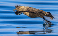 Great Skua flying up from water