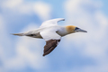 Northern gannet in flight against blue sky