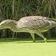 Night Heron on the Prowl - PhotoDune Item for Sale