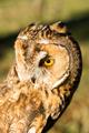 Portrait of Eagle owl (Bubo bubo)