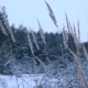 Dry Grass Sways in the Winter Wind Against the Background of the Winter Forest - VideoHive Item for Sale