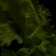 Lettuce Leaves on Black Background - VideoHive Item for Sale