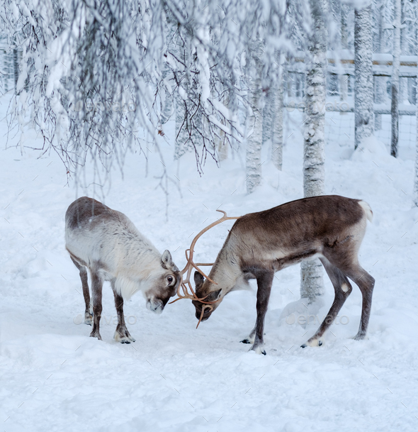 Reindeers in a winter landscape - Stock Photo - Images