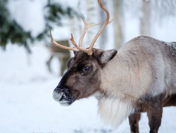 Reindeer in a winter landscape - Stock Photo - Images