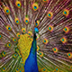 Peacock Shakes Its Feathers - VideoHive Item for Sale