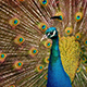 Peacock With Amazing Colorful Plumage - VideoHive Item for Sale