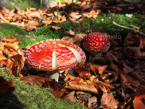 Red Amanita muscaria mushrooms in a forest - Stock Photo - Images