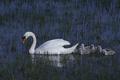 Mute swan (Cygnus olor) - PhotoDune Item for Sale