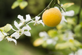 Fruits and flowers of trifoliate orange tree - PhotoDune Item for Sale