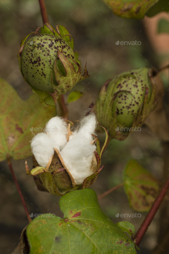 Cotton plant with seed capsule open - Stock Photo - Images