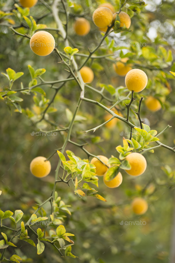 Fruits and flowers of trifoliate orange tree - Stock Photo - Images