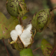 Cotton plant with seed capsule open - PhotoDune Item for Sale